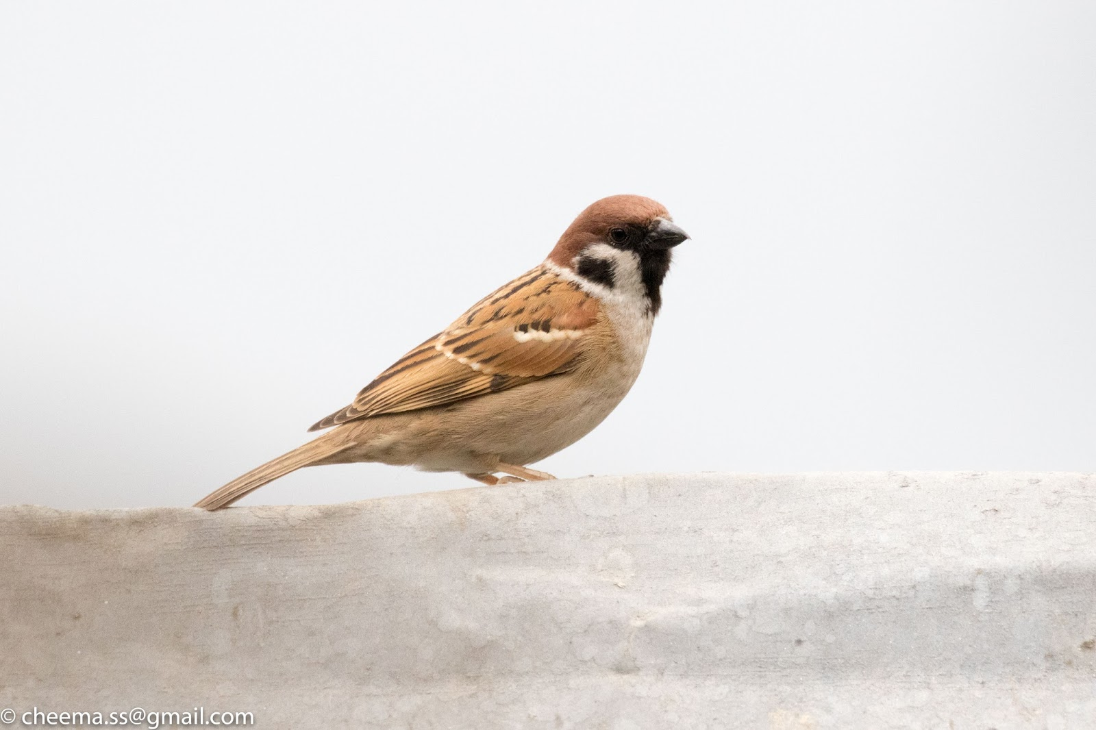 Sparrow Drinking Stock Images, Royalty-Free Images &amp- Vectors ...