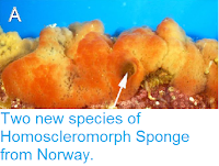 http://sciencythoughts.blogspot.co.uk/2014/12/two-new-species-of-homoscleromorph.html