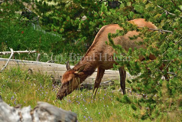 Yellowstone Elk Munching on Grass