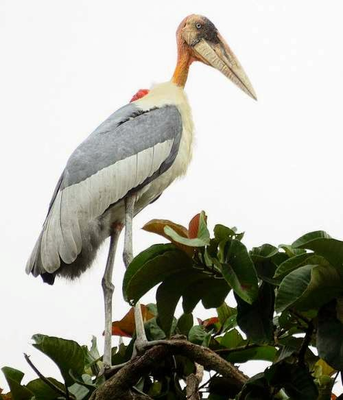 Indian birds - Greater adjutant - Leptoptilos dubius