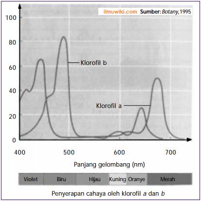 Penyerapan cahaya oleh klorofil a dan b