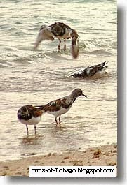Ruddy Turnstone (Arenaia interpres)