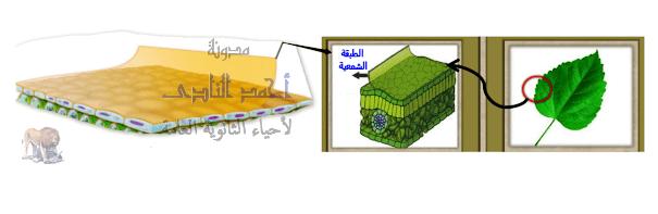 آليات المناعة التركيبية ( خط الدفاع الأول ) - تراكيب موجودة سلفاً فى النبات - الأدمة الخارجية- الطبقة الشمعية