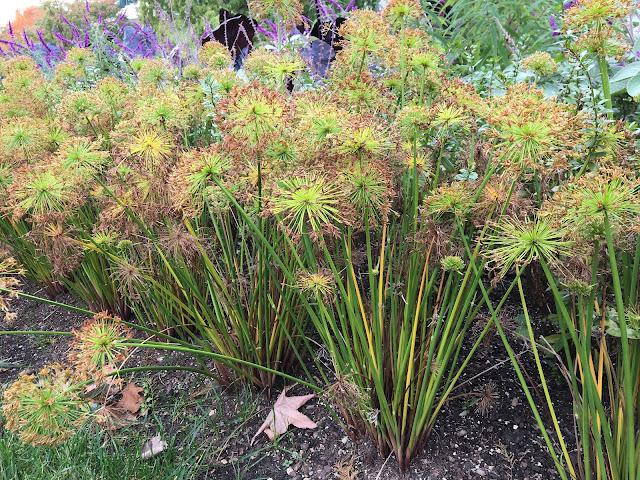 Cyperus haspan 'Viviparus' dwarf papyrus sedge