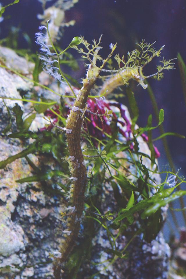 Seaweed sea horse