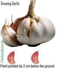 Plants That Repel Mosquitoes - Garlic