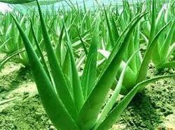 Organic plant, Certified Organic Plant, ACI Organic Plant