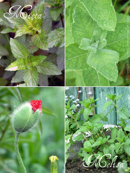 ziołowy ogródek jakie zioła