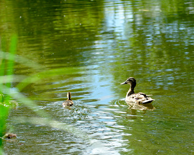 waverley abbey duck with chicks on river