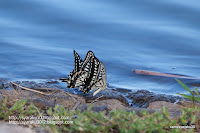 吸水するアゲハチョウの写真