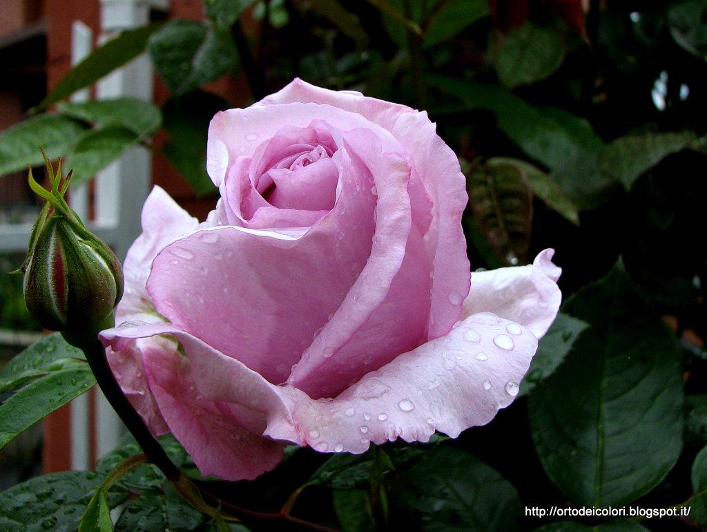 L\'orto dei colori: Rose lilla.