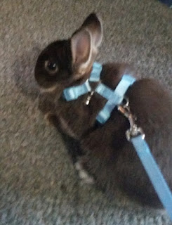bunny in harness