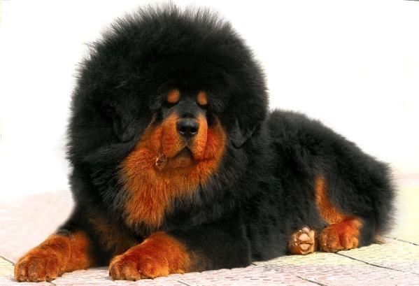 the most charming dogs in the world the most expensive dog in the world. Black Bedroom Furniture Sets. Home Design Ideas
