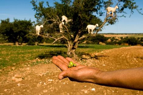 """""""الأركان"""" .. شجرة مُعمّرة تعيل الأمازيغ وتشكو """"أضرار الرحل"""""""
