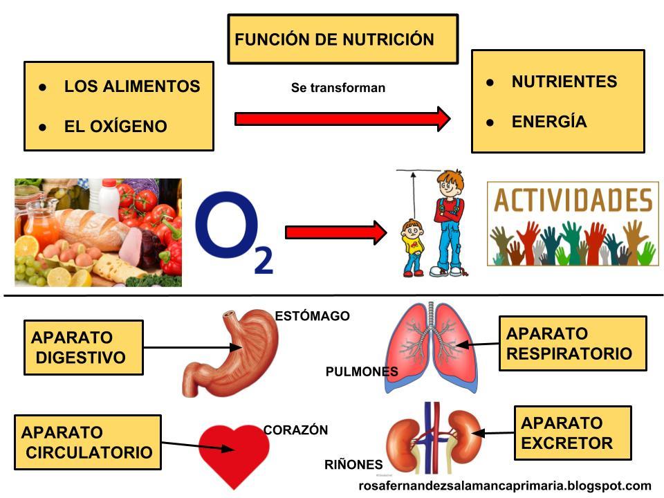 Maestra De Primaria Funciones Vitales De Los Seres Humanos Nutrición Relación Y Reproducción