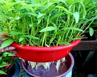 Contoh Budidaya kangkung hidroponik