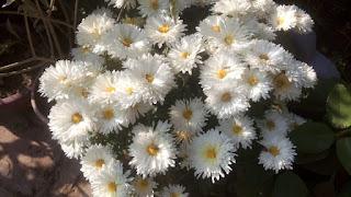White Common Peony Flowers