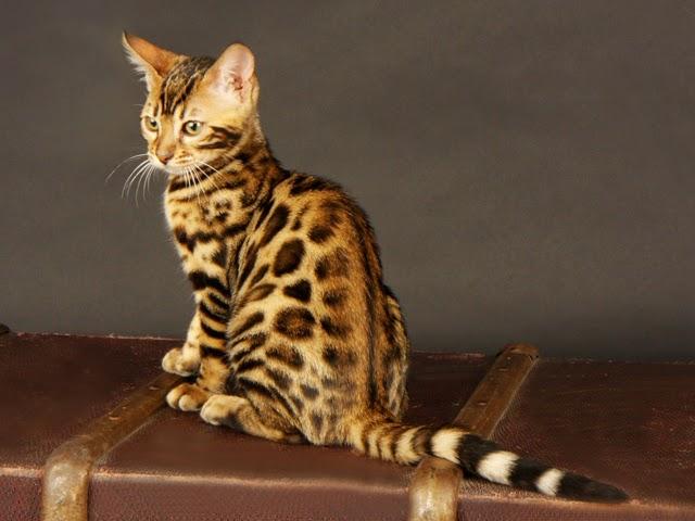 Koty Ciekawostki Zdjęcia I Gadżety Kot Bengalski
