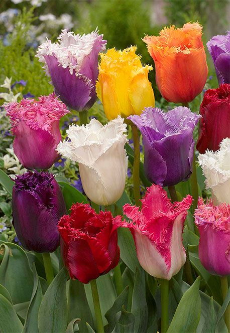 Ruffled Rainbows - great collection of tulips whose petals have frilled edges. (Bulb Box Ruffled Rainbows)