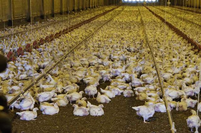 3 Jenis Ayam Pedaging Untuk Bisnis (Broiler Cobb, Ross, Hybro)