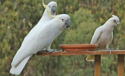 Tips Cara Melatih Burung Kakaktua Agar Cepat Pandai Berbicara