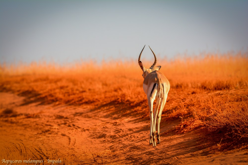 Aepyceros melampus - Impala