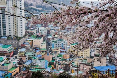 南韓釜山甘川洞文化村櫻花