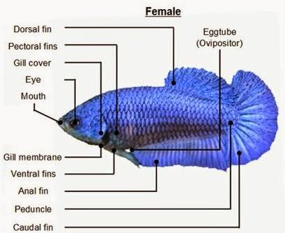 Anatomy ikan cupang betina