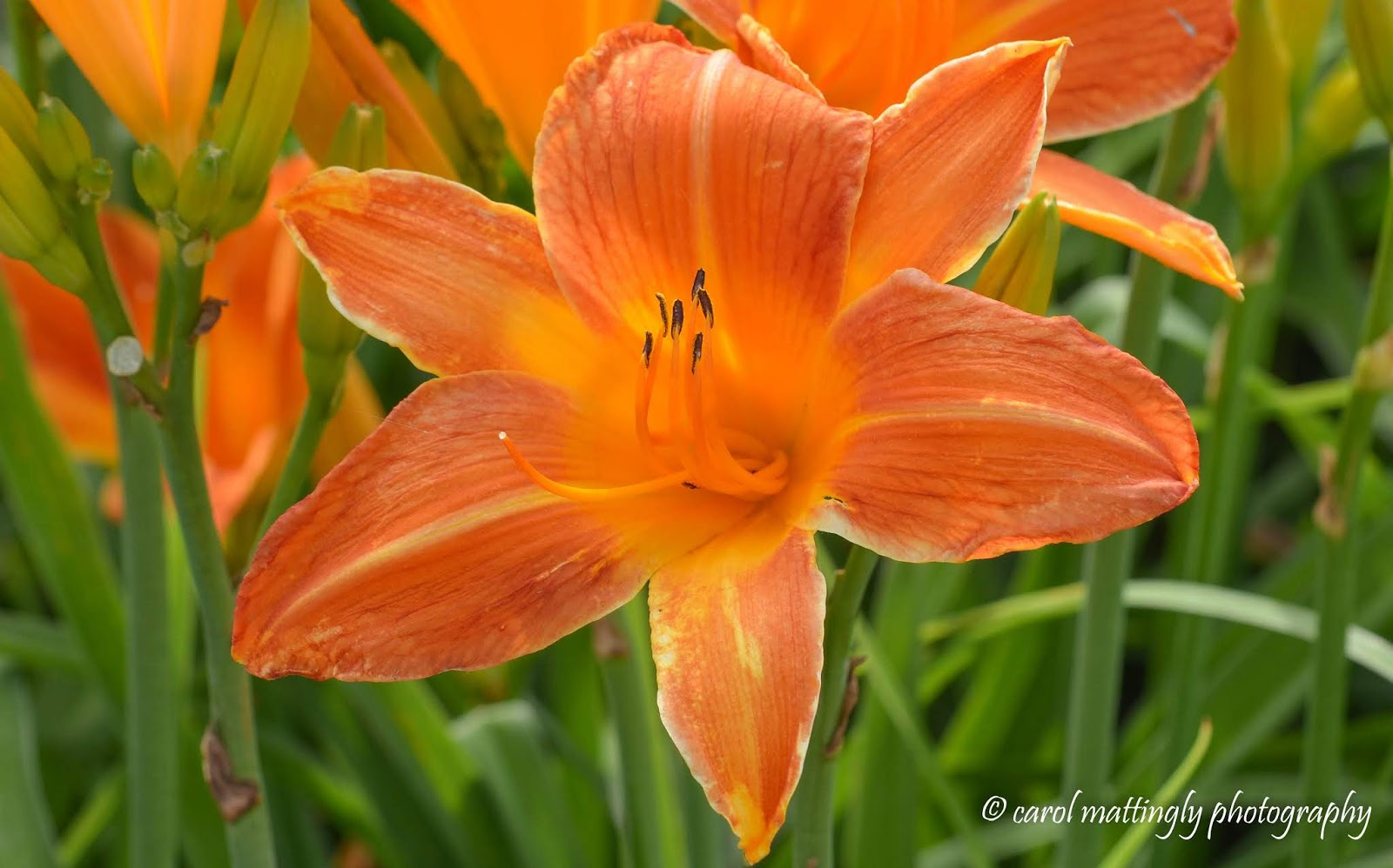 Carol mattingly photography orange peach ruffled apricot finally heres the last of the orange themed day lilies i captured while visiting bernheim this beauty is called orange vols i havent a clue where the izmirmasajfo