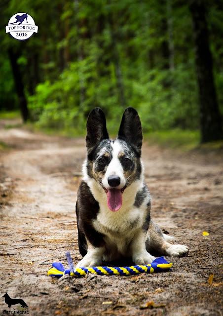 dogcessories, szarpak, szarpak polarowy, szarpak dla psa, psia zabawke, eko szarpak, eko, recykling, welsh corgi, welsh corgi cardigan, pies, corgi, zabawka dla psa