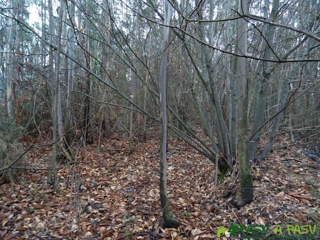 Alto la Corona o Pico La Ablanosa: Arbustos en el camino a la cima