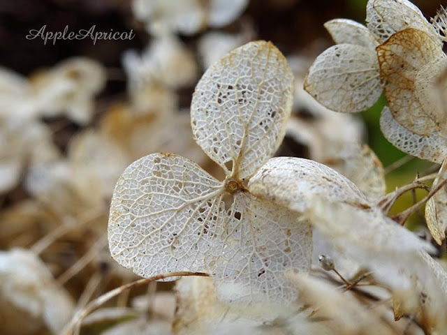 autumn Hydrangea by AppleApricot