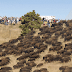 Thousands of Wild Buffalo Appear Out of Nowhere at Standing Rock (VIDEO)