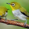 Cara Merawat Burung Pleci Agar Aktif Dan Berkicau Lantang