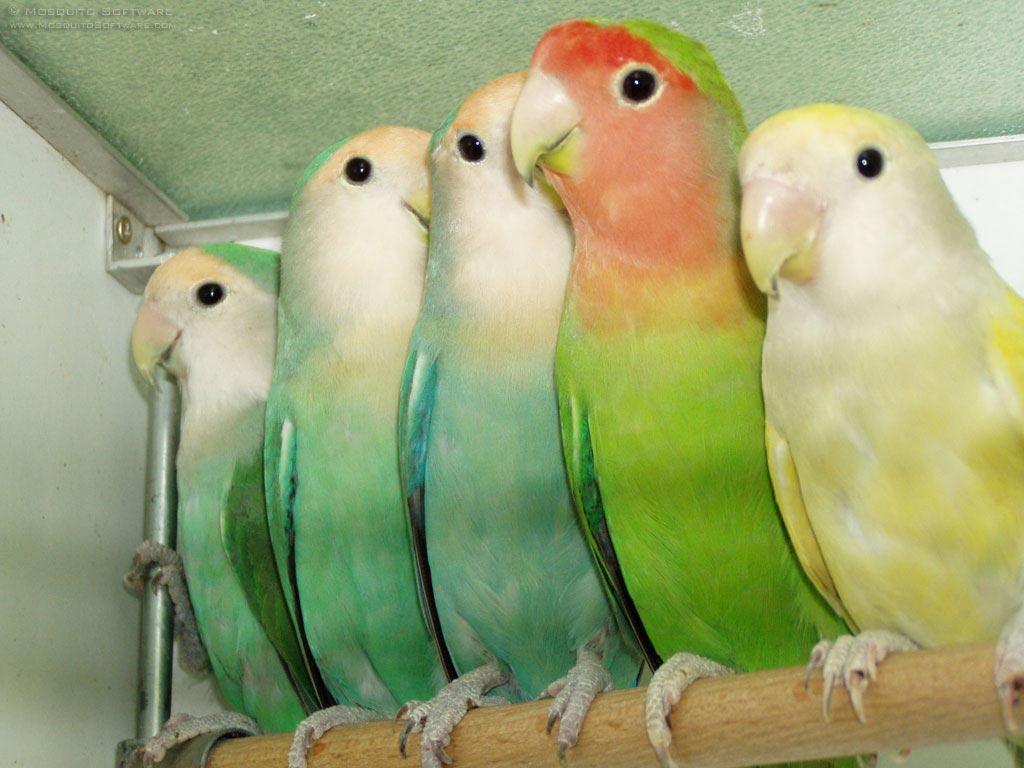 Citaten Love Bird : CriaÇÃo de animais criação agapornis roseicollis