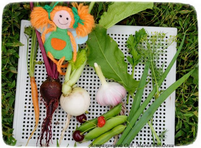 овощи, морковь, свекла, редька, чеснок, горох, земляника, лук, вишня, щавель, укроп