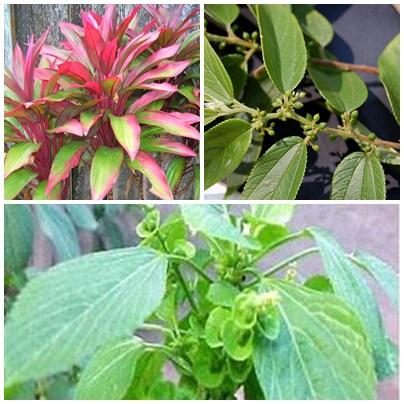 Kumpulan Obat Asam Lambung Herbal