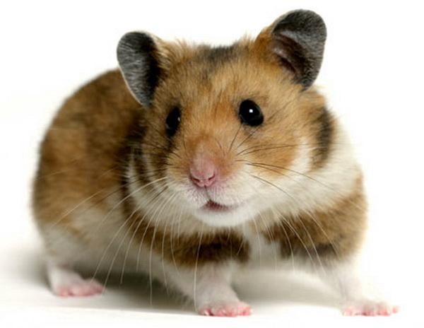 Adult hamster video