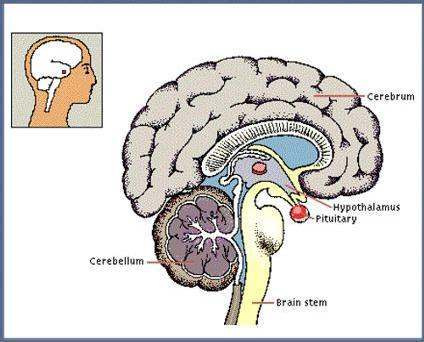 पीयूष ग्रंथि (Pituitary Gland)