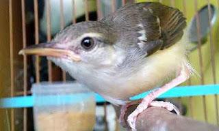 burung perenjak betina www.burung45.blogspot.com