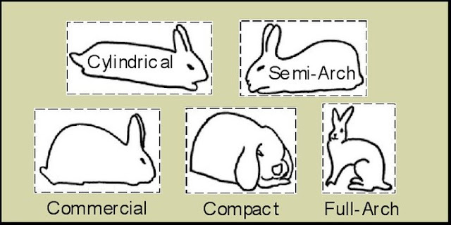 Type Badan Kelinci Hias sesuai dengan SOP ARBA indonesia
