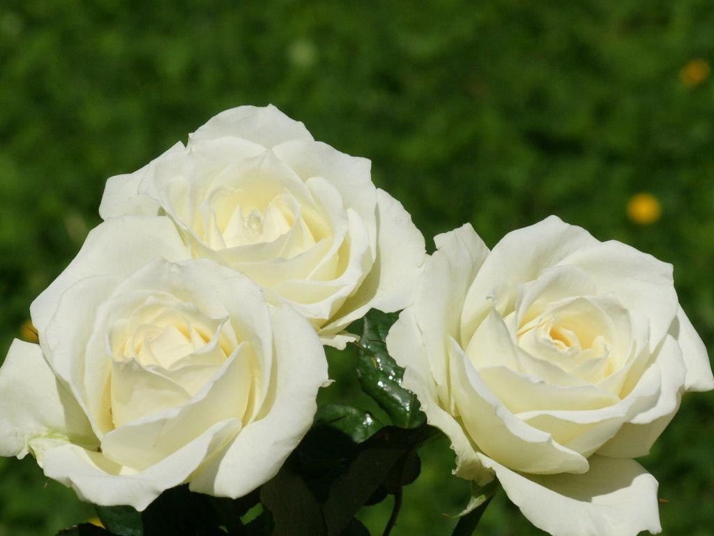 White Roses.  |Beautiful White Rose Flowers