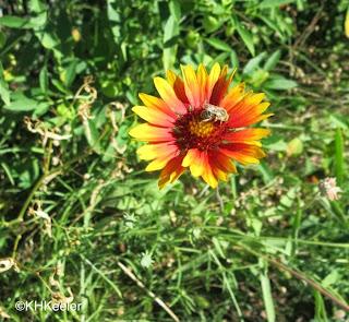 Gaillardia blanket flower