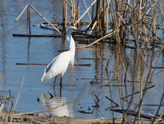 large white egret standing in water