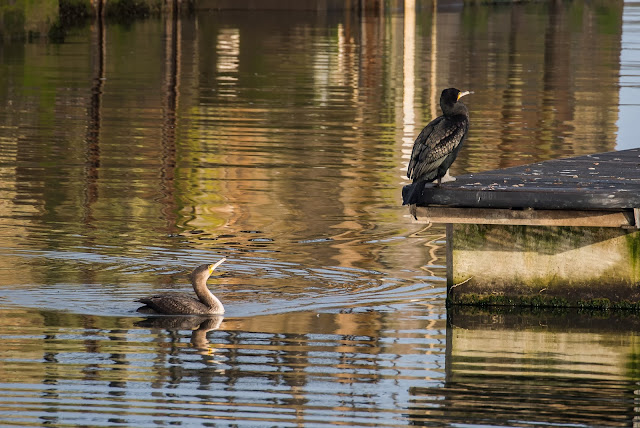 Photo of the juvenile cormorant urging the adult bird to join it in the water