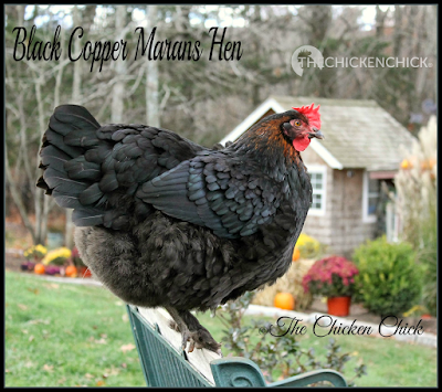 Males of most breeds have long, fancy tail feathers referred to as sickles. Black Copper Marans rooster.