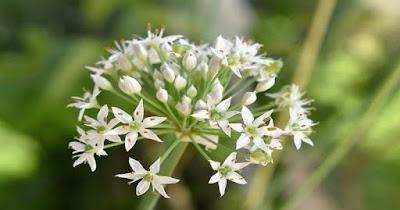 Flor del Ajo