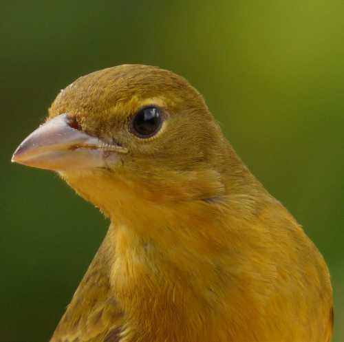 Bird World - Image of Summer tanager - Piranga rubra