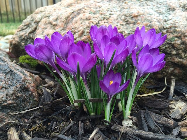 purple crocus in rock garden