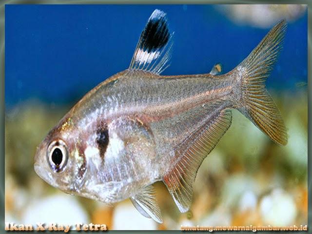 Gambar Ikan X-Ray Tetra